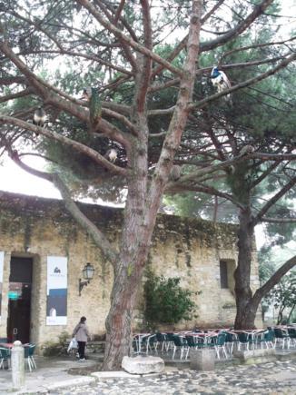 Pavos reales como loros en las ramas de los árboles