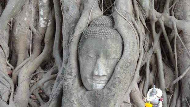 La cabeza de buda incrustada en el tronco del árbol.