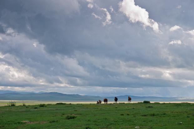 Los caballos campan libres durante el día, lejos de los gers y sus corrales.