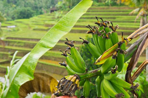 Bananeras entre los arrozales.