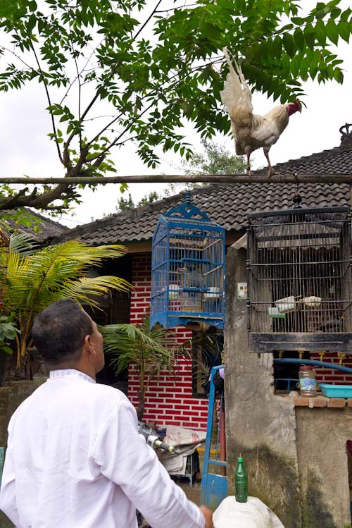 Un señor me muestra orgulloso uno de sus mejores gallos.
