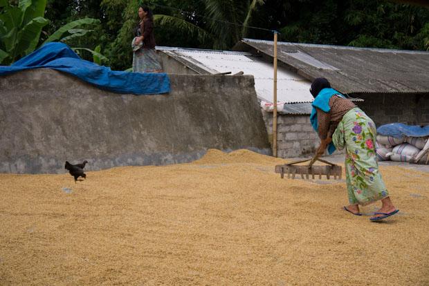El arroz recolectado tiene que ponerse a secar al sol para pelarlo y poderlo consumir.