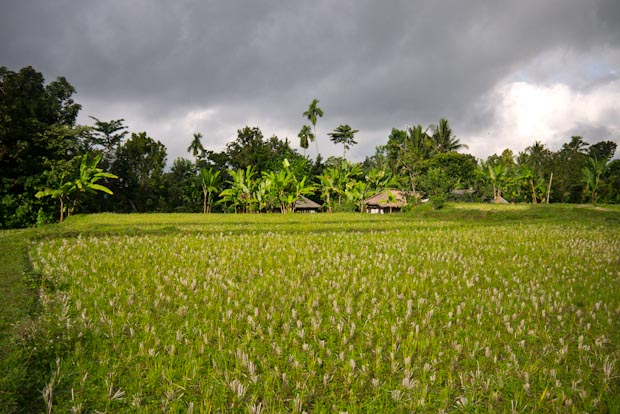 Arrozal de arroz largo recolectado.