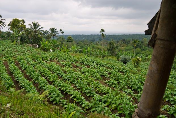 Plantación de tabaco desde donde oímos de lejos, la llamada a la oración.