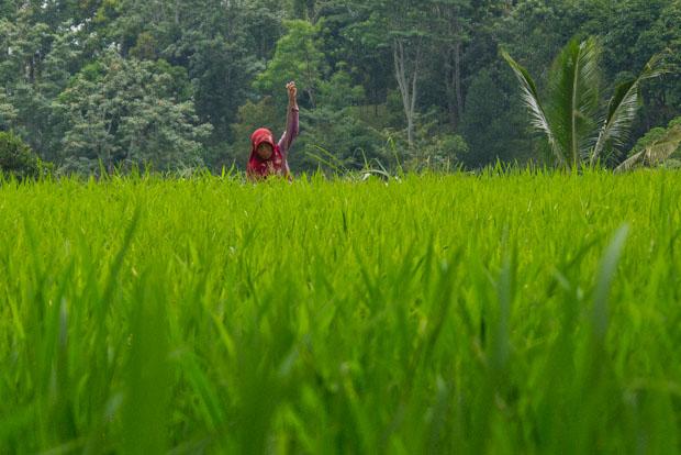 Es curiso que en esta parte de Lombok quien trabaja los arrozales son principalmente las mujeres.