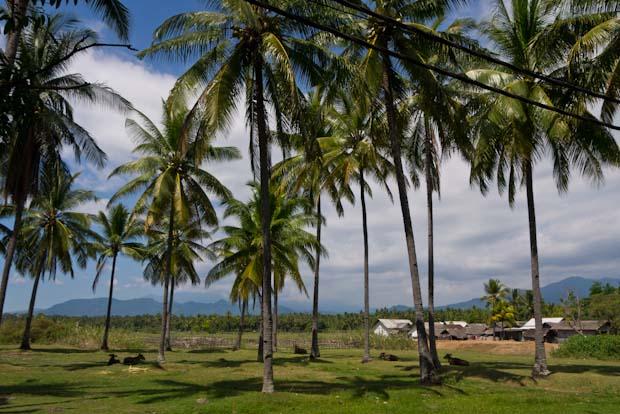 Los palmerales de cocoteros están por todas partes en la costa norte y oeste.