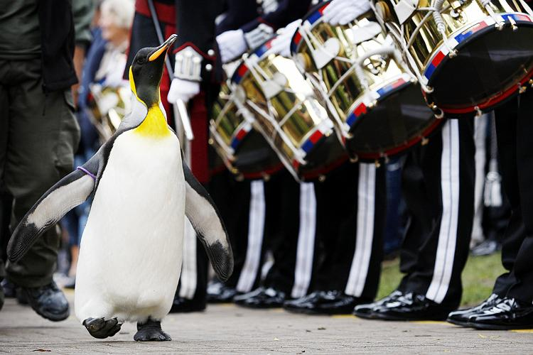Nils Olav II pasando revista a la guardia real (foto (c) http://www.thepoke.co.uk)