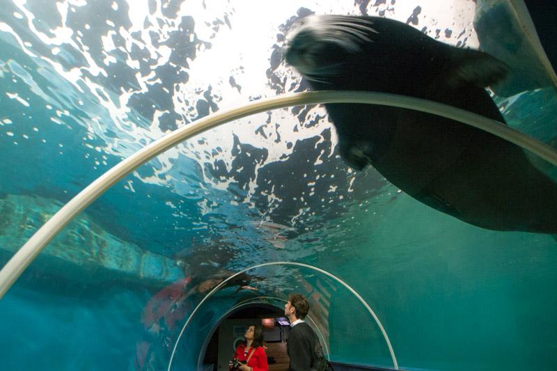 Acuario con focas barbudas.