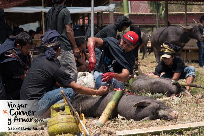 Limpiando y vaciando los cerdos para ser cocinados. Los hombres matan y despiezan, las mujeres cocinan.