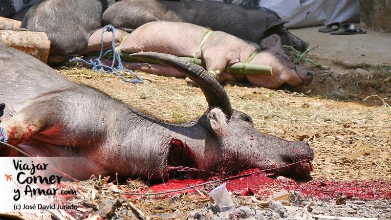 El búfalo es sacrificado de un sólo corte en el cuello y dejado desangrar.
