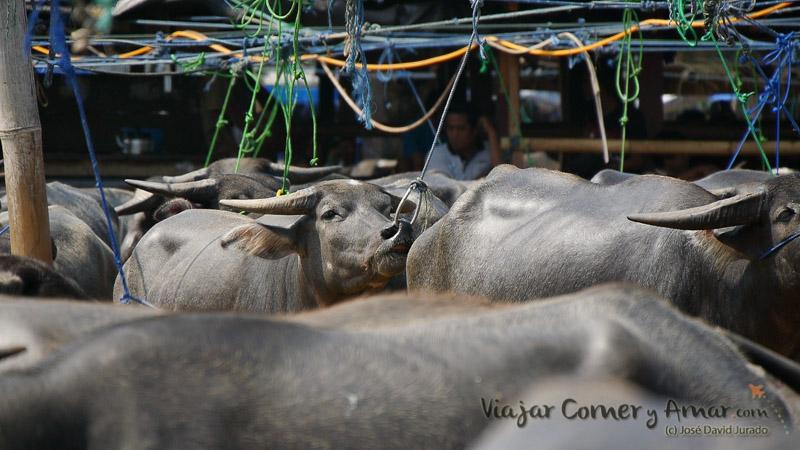 Al búfalo se le controla por la nariz. La fuerza del animal es tal que hace imposible hacerlo de otra forma.