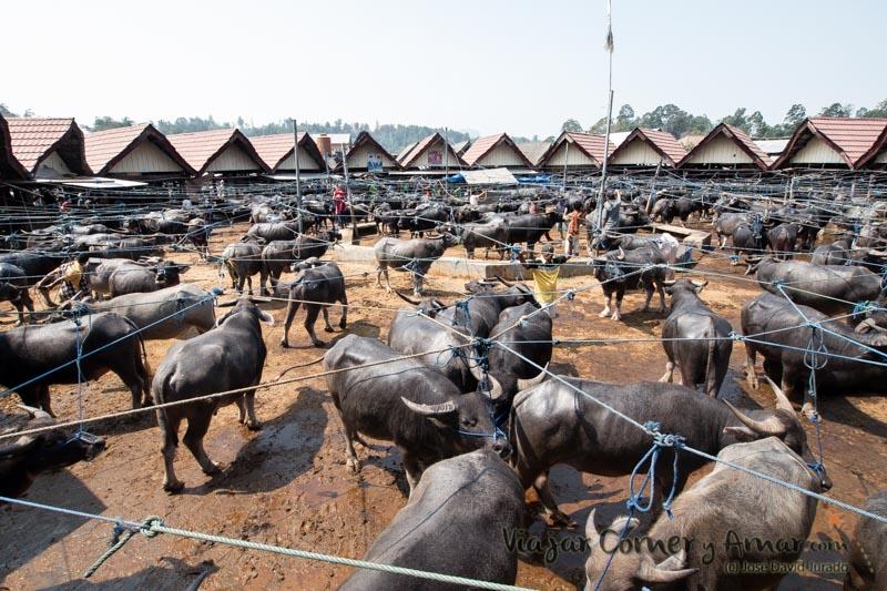 Uno de los recintos donde se exponen los búfalos comunes.