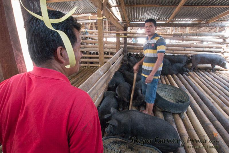 Cerdos en corrales de bambú para que los desechos caigan al suelo y no los cerdos no estén manchados antes de venderlos.