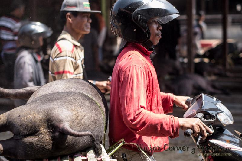 Muchos cerdos son transportados en moto, de ahí la importancia de que estén bien inmovilizados.