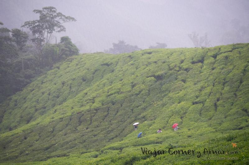 Trabajadores de la plantación. El té se cuida cada día y la lluvia es parte del proceso.