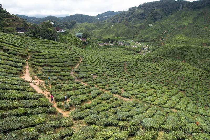 Plantación de té de Barat.