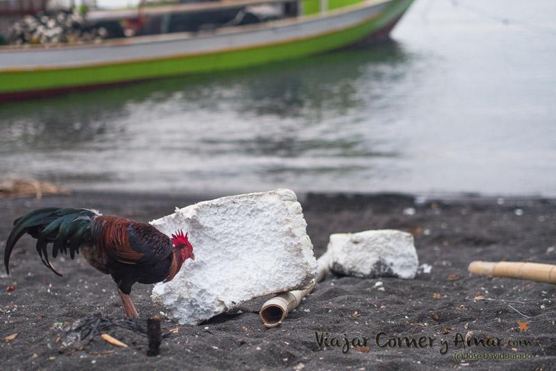 El gallo, poniéndose fino a base de bolitas de porexpán.