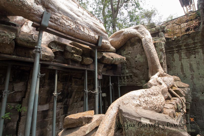 Raíces apuntaladas para evitar el colapso del templo y el árbol.