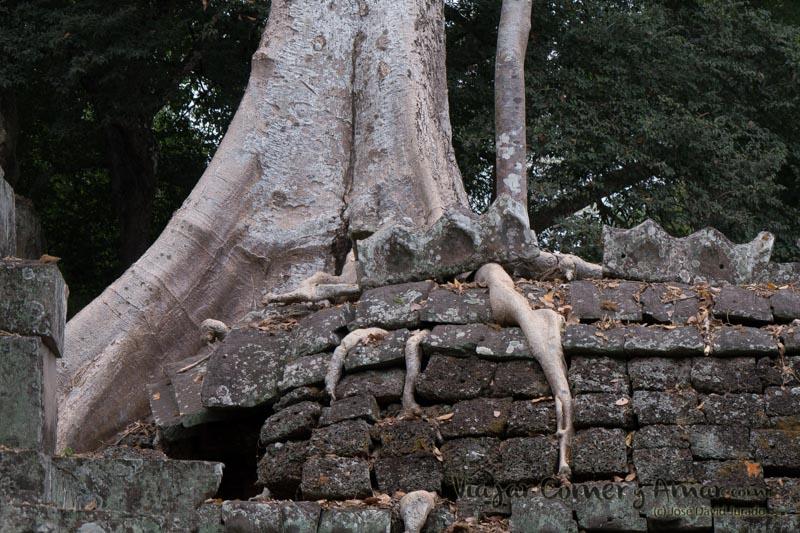 Las curiosas formas que adoptan las raíces al ir buscando su espacio entre las piedras.