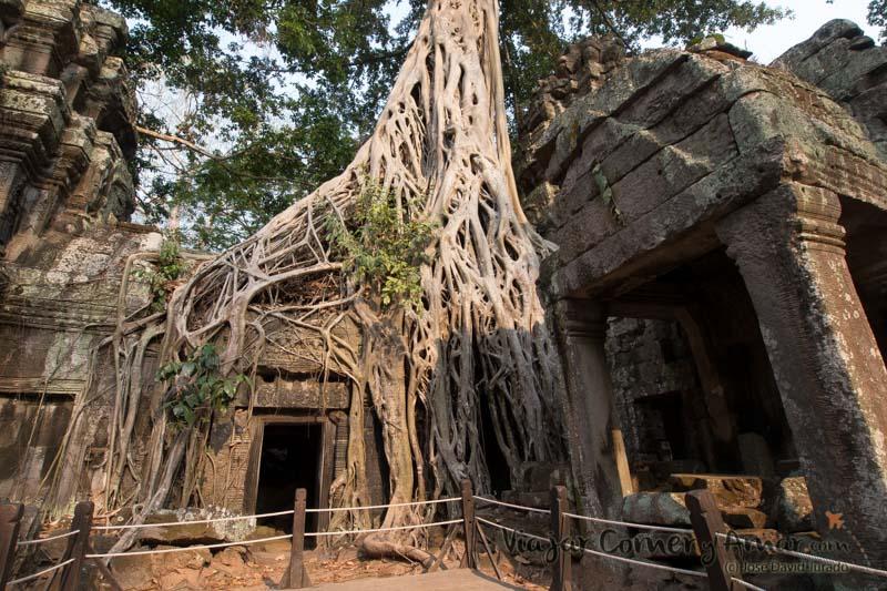 Un impresionante ficus creciendo sobre el templo, pero sin destruirlo.